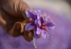 گلایه کشاورزان رشتخواری از عدم پرداخت پول زعفران توسط سازمان تعاون روستایی