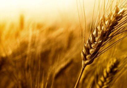 خرید تضمینی ۲۷۹ هزار تن گندم در خراسان رضوی