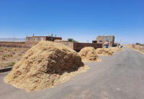 آغاز برداشت نخود دیم در شهرستان فیروزه