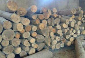 کاشت و پرورش درخت پولساز پالونیا در شهرستان رشتخوار