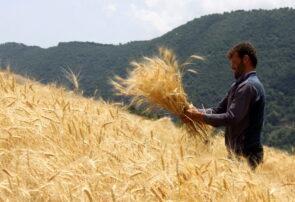 ۱۰۷ هزار تن گندم در خراسان رضوی به نرخ تضمینی خریداری شد
