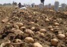 آغاز برداشت سیب زمینی در سطح ۷۵هکتار از مزارع شهرستان مشهد