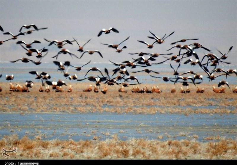 افزایش جمعیت پرندگان مهاجر در آبگیرهای نیشابور