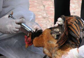 آغاز طرح تشدید مقابله با آنفلوآنزای پرندگان در شهرستان جوین