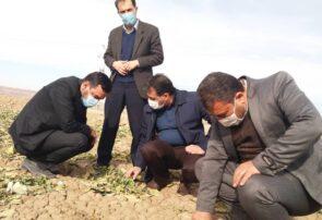 بازدید مدیر زراعت سازمان از مزارع کشت و صنعت جوین