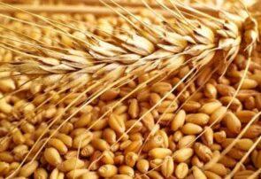 مدیر جهاد کشاورزی جوین: سیاهک گندم، آفتی مخرب در کمین کشاورزان زراعتکار