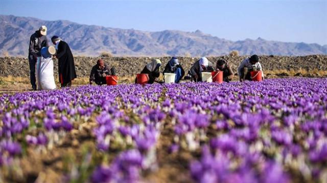 قائم مقام سازمان جهاد کشاورزی استان: در چالش زعفران باخرز باید به سمت بهره مندی از راهکارهای نوآورانه و گسترش صنایع تبدیلی حرکت کنیم