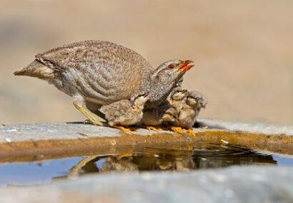 حیات وحش بجستان در دام خشکسالی شدید
