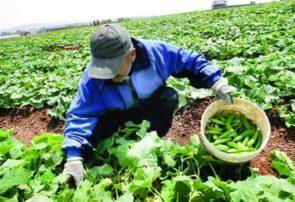مدیر جهاد کشاورزی جوین: بیمه محصولات کشاورزی، اهرم تولید، پشتیبانی در بخش کشاورزی