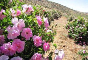 آغاز برداشت گل محمدی از سطح ۱۶۵ هکتار گلستانهای شهرستان مشهد