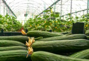 آغاز برداشت خیار گلخانهای در شهرستان جوین