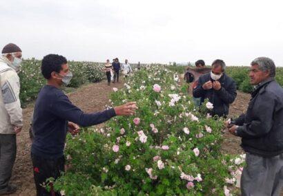 بوی عطرآتشین گل محمدی در گلستانهای نیشابور