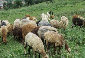 مدیر جهاد کشاورزی جوین: ممنوعیت چرای گوسفندان در مناطق سمپاشی شده