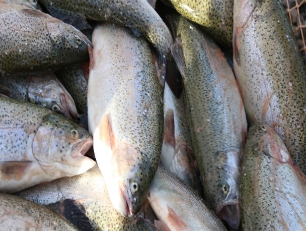 برداشت ماهیان سردآبی از استخرهای دومنظوره کشاورزی تربت حیدریه