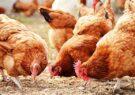 معاون رئیس سازمان و مدیر جهاد کشاورزی مشهد: پرورش مرغ محلی (پرورش مرغ بومی) یکی از کسبوکارها با حداقل امکانات و سرمایه کم