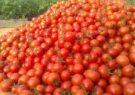 کشت گوجه فرنگی در سطح ۱۱ هزار و ۵۰۰ هکتار از اراضی خراسان رضوی
