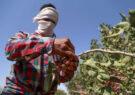 هشدار رئیس حوزه قضایی رشتخوار در جهت پیشگیری از سرقت از باغات پسته