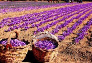 کارگران فصلی زعفران در شهرستان رشتخوار تربتحیدریه واکسینه میشوند