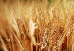 مدیر جهاد کشاورزی جوین: الزام ضدعفونی بذور گندم و جو توسط کشاورزان