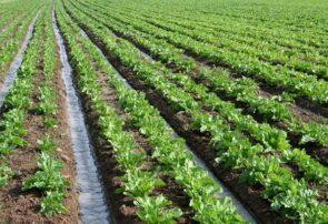 آغاز برداشت چغندرقند بهاره از سطح پنج هزار و ۲۰۰ هکتار از اراضی کشاورزی جوین