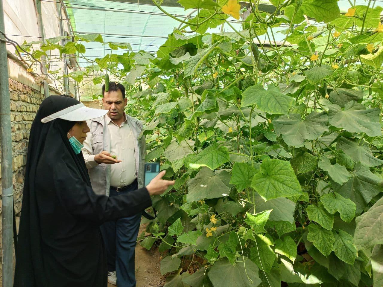 بالغ بر ۱۴۰ تن خیار گلخانهای در شهرستان جوین تولید شد